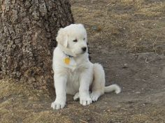 Bringing home a livestock guardian pup? Jan Dohner explains how to house, train, bond to stock or poultry, and socialize to children and family dogs. Give that new LGD pup a good start.