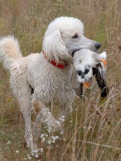 "Poodles are hunting dogs. The breed originated in Germany as a water retriever. The stylish ""Poodle clip"" was designed by hunters to help the dogs move through the water more efficiently. The patches of hair left on the body are meant to protect vital organs and joints which are susceptible to cold. The Standard variety is the oldest of the three varieties. The Miniature variety may have been used for truffle hunting."