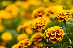 marigolds - まんじゅぎく