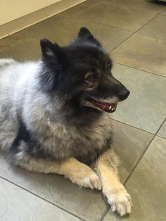 RAVEN is an adoptable keeshond searching for a forever family near San Pedro, CA. Use Petfinder to find adoptable pets in your area.