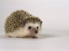 Hedge Hogs are quite simply one of the cutest attempts of an animal trying to have an active defense mechanism.