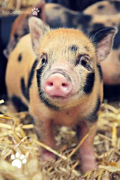 This Little Piggy is a Cutie
