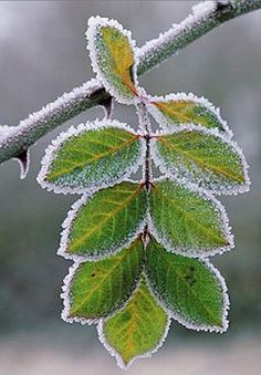 Frost on the leaves....