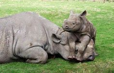 Black Rhino & calf. Yes, all mom's can relate! And the baby's smiling!  He knows what he's doing!