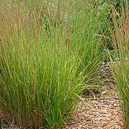Feather reed grass  Latin name: Calamagrostis x acutiflora 'Karl Foerster'  Zone 5-9
