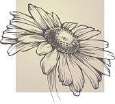 tekening bloem : Vector kamille bloem geïsoleerd