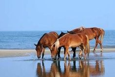 WILD SPANISH MUSTANGS of NC OUTER BANKS (Shackleford Banker Ponies / Corolla Wild Horses)