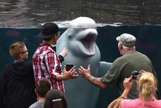 20170611 - A Beluga whale plays with visitors to the Mystic Aquarium in Mystic, Connecticut, on June 18, 2017. #    Timothy A. Clary / AFP / Getty