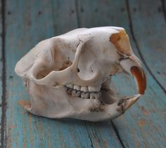 Beautiful Real Porcupine Skull - Discount. $19.50, via Etsy.