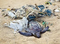 Photo about Dead turtle entangled in fishing nets on the ocean. Image of pollution, endangered, nature - 34231031 Endangered Sea Turtles, Endangered Species, Ocean Pollution, Plastic Pollution, Turtle Day, Image Of Fish, Horror, No Plastic, Fishnet