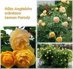 róże angielskie Graham Thomas