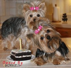 What are you looking at?  Haven't you ever seen a birthday cake before? #yorkshireterrier