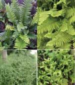 4 Ferns that will tolerate dry shade