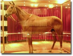Phar Lap at the Melbourne Museum compliments of http://www.flickr.com/photos/kabl1992/102054526