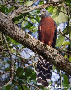 Long-tailed Hawk (Urotriorchis macrourus)