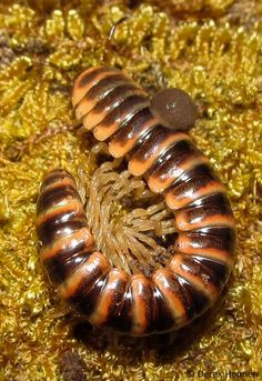 ˚Semionellus placidus is a millipede - North America