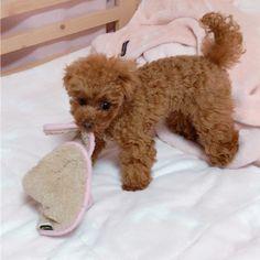 おはようございます💕 わたち自分で服脱げるんだよ❣️ すごいでしょ🐶 #ぷりんちゃん脱いだら寒いよ #夕方から寒くなるんだって #ぬくぬくしないとね #トイプードル #トイプードルレッド #ふわもこ部 #いぬバカ部  #犬バカ部 #いぬ #愛犬 #わんこ #わんこなしでは生きていけません会  #犬のいる暮らし #ぷりんちゃん #toypoodle #toypoodlesofinstagram #ilovedogs #poodlelove #dogs_of_instagram #todayswanko #west_dog_japan #all_dog_japan #dogsofinstgram #doglovers #dogstagram #dog