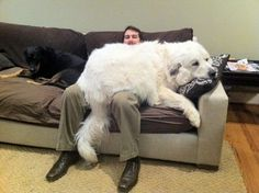 He may look like a bear but he identifies as a lap dog : aww