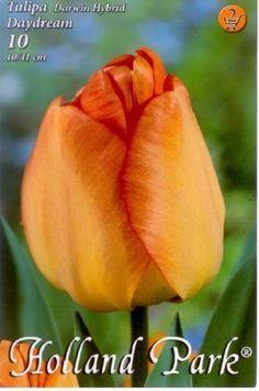 Darwin-hybrid tulipán 'Daydream' Holland Park, Darwin, Daydream, Rose, Plants, Pink, Plant, Roses, Planets