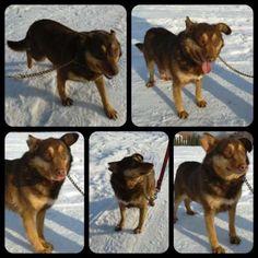 CHOCKO To średniej wielkości psiak. Ma około 2-3 lat. CHOCKo to bardzo sympatyczny, bezkonfliktowy pies. Jest bardzo towarzyski i posłuszny. IDELANY psiak i przyjaciel dla każdego ! Uwielbia byc blisko człowieka.   CHOCKO może również zamieszkać w bloku.  CHOCKO wciąż czeka na swojego przyjaciela, na swojego człowieka...