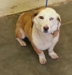 Petango.com – Meet Bobby 1578, a 1 year 2 months Basset Hound / Mix available for adoption in ONTARIO, OR