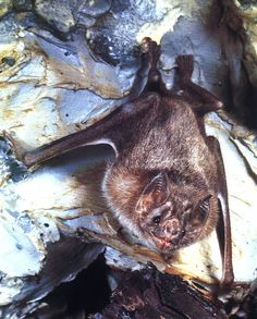 a cute little vampire bat! Central America, South America, Bat Photos, Bat Species, Living In Costa Rica, Vampire Bat, Little Fox, Amazon Rainforest, Circle Of Life