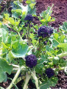 Brócolis ramoso roxo