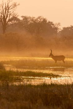 Lone waterbuck at dusk, Moremi Game Reserve. African Animals, African Safari, Safari Game, Blue Wildebeest, African Antelope, Living In Europe, Game Reserve, Wild Nature, East Africa