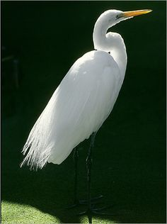 Egret. I simply love this bird one of my favorites besides the Eagle.