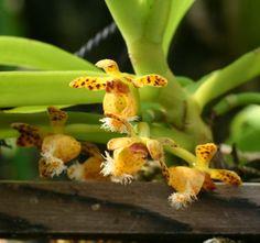 Gastrochilus sp. ガストロキラス・種名不明