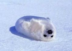 awwww whats cuter than that? Baby Animals - Picture of a white baby seal Baby Harp Seal, Baby Seal, Cute Baby Animals, Animals And Pets, Funny Animals, Beautiful Creatures, Animals Beautiful, In This World, Cute Seals