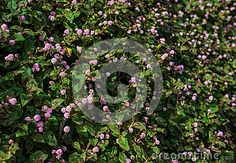 Persicaria Capitata - Pink Knot Weed Wild Flower Stock Photo - Image of green, extravagant: 67016362 Weed, Wild Flowers, Herbalism, Knots, Bubbles, Bloom, Herbs, Stock Photos, Outdoor Decor