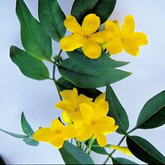 Yellow Jasmine 'Revolutum' (Jasminum humile) has sweetly scented blooms which can appear year round
