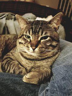 Please meet Captain Morgan Freeman Baby Animals, Cute Animals, Captain Morgan, Morgan Freeman, Tabby Cats, Cat People, Beautiful Cats, Cat Love, Neko