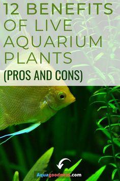 Freshwater Aquarium Plants, Live Aquarium Plants, Planted Aquarium, Live Plants, Biotope Aquarium, Betta Aquarium, Saltwater Aquarium, Tropical Fish Tanks, Tropical Aquarium