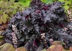 Heuchera 'Black Taffeta' - Terra Nova Nurseries