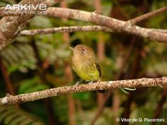Kaempfer's tody-tyrant (Hemitriccus kaempferi) is a rare species of bird in the family Tyrannidae. It is endemic to the Atlantic forest in southeastern Brazil. It was known only from two specimens until the 1990s, when it was finally observed in life. It is protected under Brazilian law & it's on the United States' Endangered Species List. Kaempfer's tody-tyrant is 10 cm long & olive green. Eyes are encircled with pale rings.