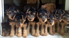 Welsh Terrier puppies .. all taken except one.