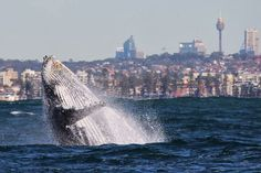 Whales in the Sydney Harbour.