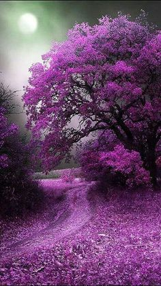 PATHWAYS: violet pathway beckons ... Beautiful flowering tree