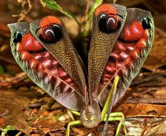 Leaf mimicking katydid....what an amazing Creator....to think of making this...thank you....