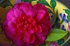 Deep pink Camellia Japonica in decorative bowl