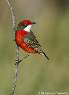 The crimson chat (Epthianura tricolor) is a species of small bird found in Australia. It is also known as the tricoloured chat, saltbush canary, and crimson-breasted nun. Crimson chats are usually 4-5 inches (10–13 cm) in length and 10-11 grams in weight. They have long, thin legs; a pointy, downward curving bill; and a brush-like tipped tongue.