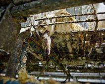 Please Ban Foie Gras!! - The Petition Site