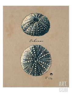 Original sea urchin shell watercolor nautical home decor - Residence sea shell par lanciano design homedsgn ...