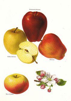 Vintage 1960s Apples Color Illustration Book Page to by niminsshop