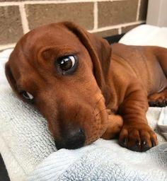 Dachshund Funny, Dachshund Puppies, Weenie Dogs, Dachshund Love, Cute Dogs And Puppies, I Love Dogs, Baby Weiner Dogs, Doggies, Dachshund Clothes
