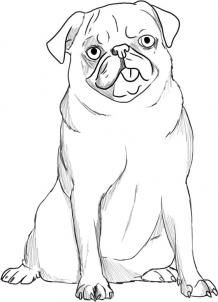 How to Draw a Pug, Step by Step, Pets, Animals, FREE Online Drawing Tutorial, Added by Dawn, October 22, 2008, 8:54:59 pm