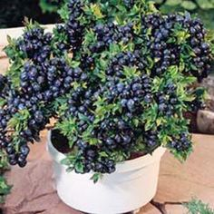 "Compact blueberry plant.  Vaccinium ""Top Hat""  WOW!! Look at all those berries for such a small plant."