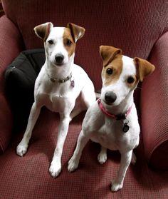 so sweet, Pete & Ella, Parson Jack Russell Terriers